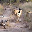 怖いもの知らずのラーテル。ライオンに果敢に立ち向かっているところを激写
