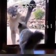 「この家はオレが守る!」ガラス越しのネコ科対決。ピューマ  VS イエネコ