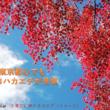 晩秋の東京で見頃 カエデの紅葉
