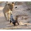 すごい体格差なのに…! ライオンをも怯ませるラーテルの威嚇がすごい。