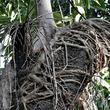 げに恐ろしきは植物かな。他の植物を絞め殺しながら成長していく「絞め殺しの木」