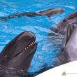 鯨類繁殖プロジェクトオキゴンドウ 2019年 2 月に出産予定