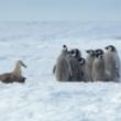 コウテイペンギンのヒナたちの前に現れた一匹のカモメ。助けようと救世主が登場