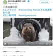 旭川市旭山動物園のエゾタヌキがもふもふすぎる動画が話題に「ここまでモフモフになるのですね」「丸々した冬毛!」