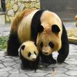 2018年8月14日生まれのジャイアントパンダの赤ちゃん「彩浜(さいひん)」1月11日(金)親子そろって、屋内運動場にデビューします!