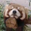 今にも落ちてしまいそう…!木の上でうたた寝するレッサーパンダが可愛すぎる。