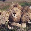 一度は行きたい!のか?77匹のライオンに囲まれながら泊まれるレンタルハウス「ライオンの家」(南アフリカ)