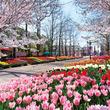 チューリップ×桜の競演!今しか出会えない「100万本の大チューリップ祭」