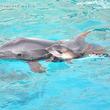 1月17日(木)バンドウイルカの赤ちゃんが誕生しました!
