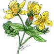 西洋オトギリソウ(Hyperici herba) − 【ハーブティー茶療法】気分を軽くするオトギリソウ茶