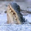 ちゃんと生きてます。凍った池に閉じこもり、鼻だけ出して冬眠するワニ(アメリカ)