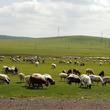 20頭のヒツジを屠殺場に運ぶ途中、心に重荷を感じて動物保護区に方向転換した牧場主