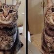 撫でてほしいのに、なかなか言い出せずにモジモジ。おすまししながら甘える猫を撫でたら可愛すぎて話題に!