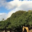 [バニヤンツリー]古今東西 ご神木巡礼 超番外ハワイ編3〜ベンガルボダイジュ|クワ科イチジク属