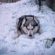 朝から雪ばっかり食べる愛犬に「そろそろ家に入ろう」と言った時の顔