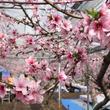 暖かい春を先取り!山梨県笛吹市で「ハウス桃宴」開園