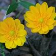 福寿草(フクジュソウ) − 1月1日の誕生花 花言葉は「永久の幸福」