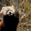 レッサーパンダのフンは食べ物のにおい!? 動物の魅力を伝える解説員に密着