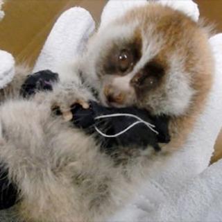 希少サルの赤ちゃん密輸