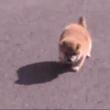 なんやこのちっちゃいコロコロは……! 赤ちゃん柴犬が無邪気に遊びまわる姿が尊すぎ。萌え悶えるネット民からは「動くロールパン」「殺人毛玉」の声