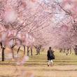越辺川の川沿いに約200本の桜並木!埼玉県坂戸市「第5回坂戸にっさい桜まつり」