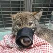 犬だと信じて助けてみたら野生のオオカミだった!極寒の川にはまって出られなかった所を作業員が救出(エストニア)