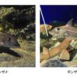 鴨川シーワールド エコアクアローム「鴨川海底谷」にて長期の飼育が難しい深海魚、ギンザメの展示を開始
