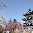 ひと足早く咲かせた弘前公園の桜を羽田空港JALラウンジで公開  弘前市×日本航空コラボ企画 期間限定3月20日~3月25日で実施