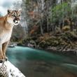 捕食獣、ピューマの食べ残しが森林の生態系を育んでいた(米研究)