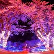 「東京は本日開花宣言」相模湖は現在2部咲き。相模湖リゾートに色々聞いてみた!