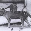 絶滅したタスマニアタイガー(フクロオオカミ)の皮膚DNAから種を救い出せるかもしれない