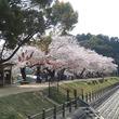 展望台から市内を一望!愛媛県新居浜市・滝の宮公園の桜がまもなく見頃