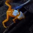 背中と頭がピカーン!蛍光色の模様が浮かび上がる毒ガエル「パンプキン・トードレット」(ブラジル)
