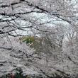 平成最後の花見はまだ間に合う!! ソメイヨシノが満開の上野恩賜公園