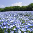 """約10万本の""""ネモフィラ""""が開花。4月上旬の全面見頃がまもなくです!(国営武蔵丘陵森林公園)"""