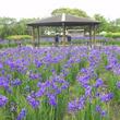 42万本のあやめの花が咲き誇る・宮崎県都城市「早水あやめまつり」開催