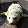 ゴマフアザラシの赤ちゃん、排水口に吸い込まれ死ぬ 加茂水族館「蓋が固定されておらず外れてしまった」