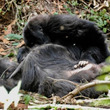 ゴリラは仲間の死を悲しみ哀悼の意を捧げる。別種のゴリラの死に対しても強い関心を示す(東アフリカ)