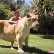 ライオンの父がいる。トラの母がいる。そしてライガーがここにいる。