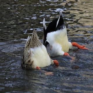 水面から突き出た……鴨尻………