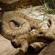 なんで? 1500年前の狩猟民族はガラガラヘビを「丸呑み」していた
