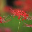 秋に咲く真っ赤な花「彼岸花」日本全国の名所を訪れよう