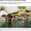 野生のアライグマ、動物園に勝手に棲みつく(独)
