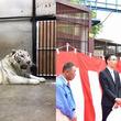 アイケンジャパン、池田動物園(岡山県)の ホワイトタイガー舎サポーターに就任、獣舎命名権を獲得