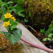 開園86周年を迎える 六甲高山植物園昭和天皇に献上された花、エンコウソウが見頃です