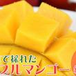 沖縄県沖縄市(おきなわし)「ふるさと納税」お礼品に『沖縄市で収穫!完熟アップルマンゴー約1kg(2~3玉)化粧箱』を新たに追加いたしました