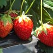 首都生まれのイチゴ 「東京おひさまベリー」誕生