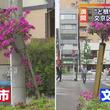 """""""ど根性ツツジ"""" 町田に続き、文京区でも発見"""