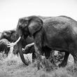 アフリカゾウが増えすぎて困っているジンバブエが象牙取引解禁を要求 持続可能な保護活動とは?