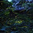 幽玄な光が乱舞!静岡県伊豆市で「天城ほたる祭り」開催